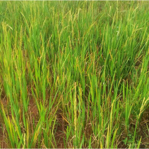 2,000 HECTARES RICE CULTIVATION & PROCESSING FARM PROJECT